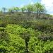 Salita al Monte Magno cercando piste nel tappeto di rododendri
