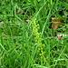 grüne Orchis