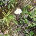Das Alpen-Fettblatt ist carnivor, in zwei Blättern hats halbverdaute Ameisen.
