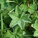 Frauenmantel.<br />Bei Wasserüberschuss wird dieses aktiv ausgeschieden (Guttation), was der Pflanze vermutlich zum Namen verholfen hat.