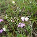 Blumen II, ua. Mehlprimel, buxblättrige Kreuzblume und Alpen-Fettblatt
