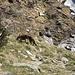 Volpe nei pressi dell'Alpe di Pontéi