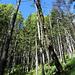 Waldimpression - im Aufstieg zur Schellalm