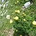 Trollblumen - sonst war diesbezüglich nicht viel los