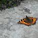 Wunderschön. Ich bin ein Schmetterlingsbanause. Bei diesem sehe ich überrascht, dass er in aviatischer Ansicht quasi ein Tiefdecker ist. Wusste nicht, dass es das gibt. Als Kinder haben wir doch die Schmetterlinge immer mit dem Körper unter oder zwischen den Flügeln gezeichnet, nein?
