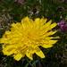 Dente di leone (Taraxacum alpinum)<br />