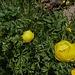 pumelige Drollblumen