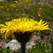 Dente di leone (Taraxacum alpinum)