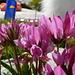 Trifoglio alpino (Trifolium alpinum)