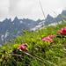 Alpenrose - Schöne Rose! Im Hintergrund die Lavtinahörner