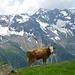 Zur Zeit weiden auf der grossen Weritzalp: sechs Kühe und drei Kälber. Später kommt eine Herde mit Mutterkuhhaltung dazu.