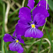 Langsporniges Veilchen (Viola calcarata). Im Lötschental sehr häufig.