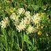 Walliser Wundklee (Anthyllis valesiaca
