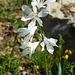 Weisse Trichterlilie (Parasidea liliastrum)