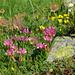 Alpen-Klee (Trifolium alpinum) mit verblühtem Berg-Nelkenwurz (Geum montanum)