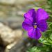 Langsporniges Veilchen (Viola calcarata). Im Lötschental sehr häufig