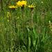 Einköpfiges Ferkelkraut (Hypochaeris uniflora)