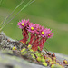 Alpen-Hauswurz (Sempervivum alpinum)