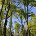 """Sobald das Gelände etwas ansteigt geht der Mischwald in einen praktisch reinen Buchenwald über. Die Bäume sind teilweise sehr alt und es wunderschön hier zu wandern.<br /><br />Das Waldgebiet im Nationalpark heisst auf der Karte """"Aluge""""."""