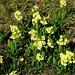 Hohe Schlüsselblumen (Primula elatior).