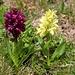 Blüten vom Holunder-Knabenkraut (Dactylorhiza sambucina). Interessanterweise gehören beide Pflanzen zur gleichen Art aber sie können verschieden farbige Blüten ausbilden. Zwei Blütenfarben an der gleichen Pflanze sind aber äusserst selten.