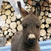 ein Schaf in einem Esels Pelz :)