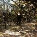 Forêt barbue vers 3500m dans la montée au belvédère de Taruche (3700m)