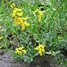 Lotus corniculatus L.   <br />Fabaceae<br /><br />Ginestrino comune.<br />Lotier corniculé.<br />Gewoehnlicher Hornklee.<br /><br />