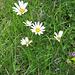 Leucanthemum vulgare Lam.   <br />Asteraceae<br /><br />Margherita comune.<br />Marguerite.<br />Gewoehnliche Wiesen-Margerite.