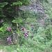 Aquilegia atrata W.D.J. Koch   <br />Ranunculaceae<br /><br />Aquilegia scura.<br />Ancolie noiràtre.<br />Dunkle Akelei.