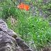 Lilium bulbiferum subsp. croceum (Chaix)   <br />Liliaceae<br /><br />Giglio croceo.<br />Lis safrané.<br />Bulbillenlose feuerlillie.