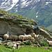 Schafe suchen Schatten