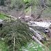 Pini sul sentiero fra Merisciolo e Voisc.