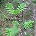 Fraxinus excelsior L.    <br />Oleaceae<br /><br />Frassino comune.<br />Fréne commun.<br />Gemeine Esche.<br />