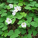 Oxalis acetosella L.   <br />Oxalidaceae<br /><br />Acetosella dei boschi.<br />Oxalis petite oseille.<br />Wald-Sauerklee.