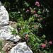 die ersten blühenden Alpenrosen entdeckt