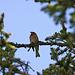 Im kühlen Schatten des Waldes. Lange habe ich nur seinen Gesang gehört bis ich ihn endlich in den Tannen erblickte - ein Buchfink.