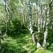 Bosco di betulle sulla costa del Faietto