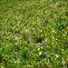 schöne Blumenwiese - dominiert von Lungenenzian (Gentiana pneumonanthe) und der selteneren gelben Schwefel-Kuhschelle (Pulsatilla apiifolia)