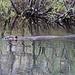 Beaver in his territory