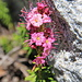 Mountain Heather - Phyllodoce breuweri