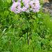 Üppige Flora am Wanderweg von Le Prese nach Poschiavo: Akaleiblättrige Wiesenraute (Thalictrum aquilegifolium)