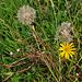 Bocksbart, Habermarch (Tragopogon pratensis)