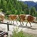 Unterwegs begegnen uns die Kühe auf dem Alpaufzug