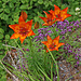 Feuerlilien (Lilium bulbiferum) am Weg nach Viano