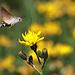 Taubenschwänzchen - beim Betrachten der Aufnahme wurde mir klar, warum sich das geschäftige Insekt nie setzt - es kann's auch  ohne!<br />Das Bild habe ich speziell für CT gemacht - wegen den Kolibris;-)