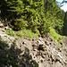 Hier hat der Hang den Steig sogar mitgenommen. Die Stelle meistert man, indem man ein paar Meter durch das Unterholz (Bildmitte oben) nach oben steigt um danach die Rutschung in stabilerem Gelände zu queren.