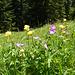 Trollblumen und Wald-Storchenschnabel.