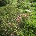 Alpenrosen im Kessel zwischen Sattel & Nideri