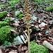 die unscheinbare, doch bemerkenswerte Pflanze überrascht uns hier